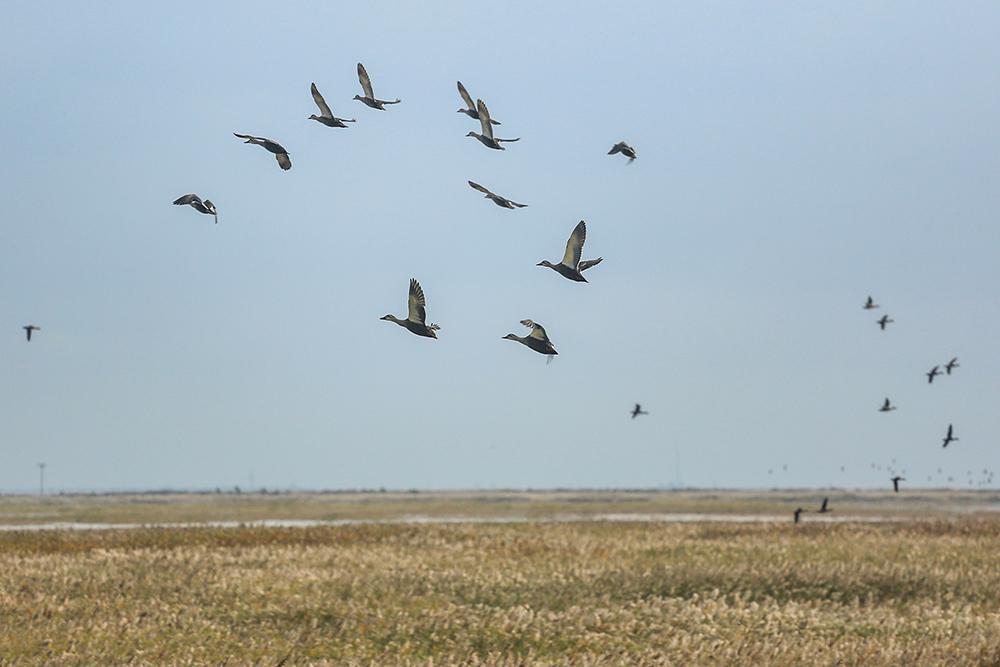 黄河口生态湿地万物生长、群鸟翔集 (2).jpg