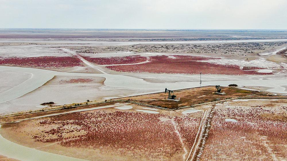 翅碱蓬:湿地红毯无边无垠 (2).jpg